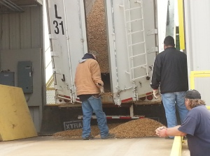 Peanuts being unloaded from a truck at Clint Williams Peanut Plant to begin the process of being packaged for sale.